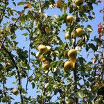 Birnbaumumarmung - liebevolle Energie