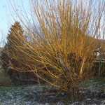 Yellow Willow