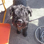 Kerry Blue Terrier Nepos