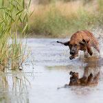 Bayerischer Gebirgsschweißhund Hundefoto mit tierpfoto