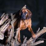 Bayerischer Gebirgsschweißhund mit tierpfoto