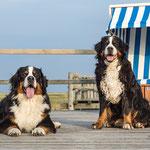 Fotoshooting mit Berner Sennenhunden_Annett Mirsberger Fotografie