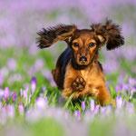 Kaninchendackel in Krokussen in Husum-Tierfotografin Annett Mirsberger