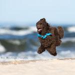 Toy Pudel am Strand von tierpfoto