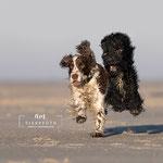 Actionfoto Hund tierpfoto auf Eiderstedt