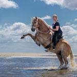Haflinger mit Reiterin steigt-tierpfoto