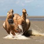 Haflinger wälzt sich-Tierfotografie Annett Mirsberger