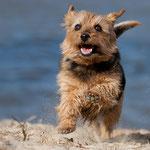 Norfolk Terrier mit tierpfoto