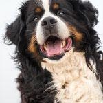 Hundeportrait Fotoshooting mit Berner Sennenhund