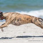 Windhund Hundefoto Annett Mirsberger