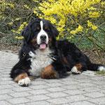 Coskan vom Bärideich - Deckrüde in Östrereich