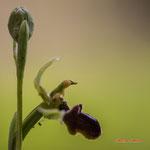 Ophrys araignée, Ophrys sphegodes, le Garde, Cénac. Samedi 25 avril 2020. Photographie : Christian Coulais