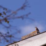 Oiseau, Cénac. Samedi 4 avril 2020. Photographie : Christian Coulais