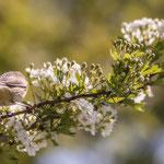 Oiseau, aubépinier, Cénac. Dimanche 5 avril 2020. Photographie : Christian Coulais