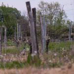 Couple de faisans en fuite, seul le faisan apparaît, Cénac. Mardi 7 avril 2020. Photographie : Christian Coulais