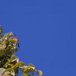 Rouge-gorge, tilleul commun, Cénac. Samedi 4 avril 2020. Photographie : Christian Coulais