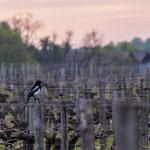 Pie dans les vignes, Cénac. Mardi 7 avril 2020. Photographie : Christian Coulais