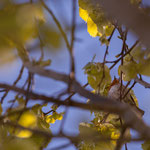 Rouge-gorge, tilleul commun, Cénac. Vendredi 3 avril 2020. Photographie : Christian Coulais