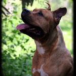 BALKANE femelle american staffordshire terrier élevage de La Garde Divine