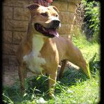 DIVA DE LA GARDE DIVINE femelle american staffordshire terrier