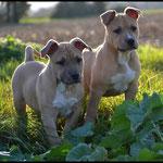 J'LO et JERSEY DE LA GARDE DIVINE femelle american staffordshire terrier