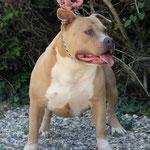 EDEN ROCK DE L'EXIL DES TITANS femelle american staffordshire terrier élevage de La Garde Divine