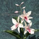 Vuylstekeara Orchid 'Cambria Plush'