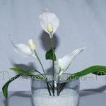 Einblatt oder Spathiphyllum