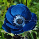 Blaue Anemone