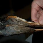 2 Gartenrotschwanz-Männchen: ein Vogel im 2. Kalenderjahr und ein Adultvogel. Findest du den Unterschied?