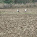 15.3.2014  jetzt ein Storchenpaar, 200m vom Mast entfernt.--            Foto: Ingolf Grabow