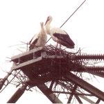 10.4.2014:  ein Storchen-Paar ist in Nied eingetroffen !!---Foto: Dieter Müller