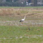 26.2.2014  Futter suchender Storch am gleichen Tag, 300m entfernt.--  Foto: Ingolf Grabow