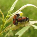 Ameisen-Sackkäfer an jungen Weidentrieben