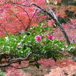 大覚寺の紅葉、見ごろでした