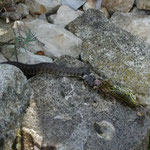 Unglaublich!!!! Eine Schlange verzehrt gerade einen Frosch in unserem Teich!