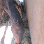 Bei Bedarf wird auch in den Stallungen Heu angeboten, damit die Pferde vor Wetter und Mücken geschützt fressen können.