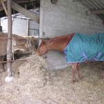 Die älteren und/oder weniger robusten Pferde werden zusätzlich noch im Stall einzel zugefüttert.