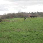Die ersten Tage geht Rolf die kleine Herde jeweils auf den Weiden holen, damit wir sie kontrollieren können und sie auch sicher wissen wo der Stall mit Heu und Wasser ist.