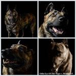 Collage van Odin The Eye Of The Tiger v Heidas Erf (Jan-Henk vd Niwo X Neeltje v Heidas Erf)