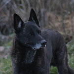Baloo (Jef vh Pullenland X Heibel vd `s-Gravenschans) hier 11 jaar oud