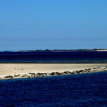 Robben vor Wangerooge
