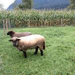 Schafe Bärli und Mecki