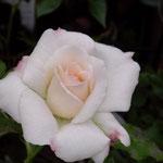 ブライダルホワイト、花形はOKだが、もしや花が小さめか?