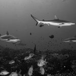 Reefsharks, North Pass (Canyons), Fakarava [French Polynesia, 2014]