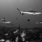 Reefsharks, North Pass (Canyons), Fakarava [French Polynesia, 2014]