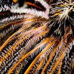 Feather star (Crinoidea), Komodo [Indonesia, 2011]