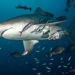 Bull shark,  [Fiji, 2014]