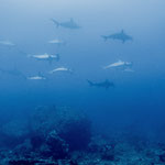 School of hammerhead sharks, Yonaguni [Japan, 2015]