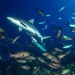 Grey reefsharks [Fiji, 2014]